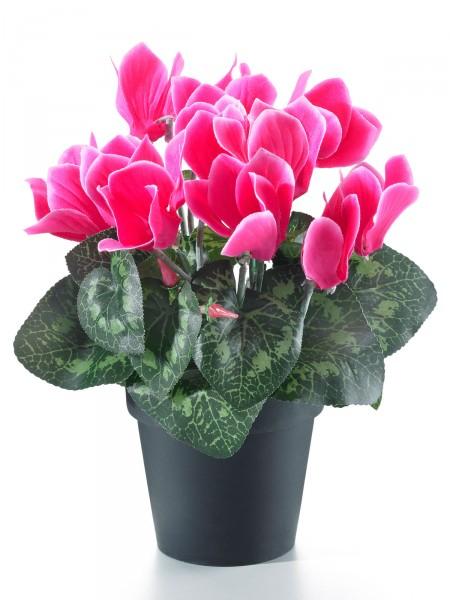 Alpenveilchen, rosa
