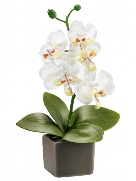 "Orchidee ""Delia"""